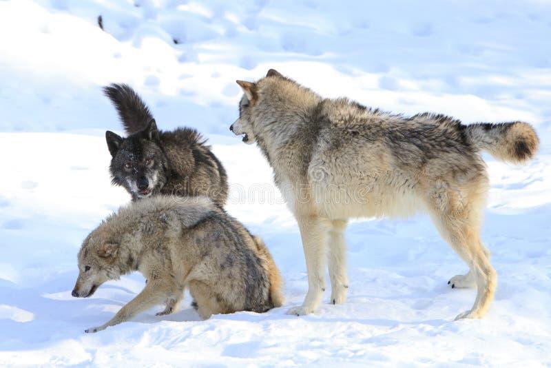 Timberwolfherausforderung stockbild