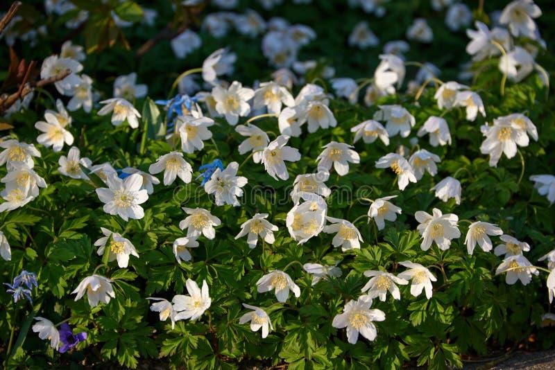timbleweed весной стоковые изображения rf