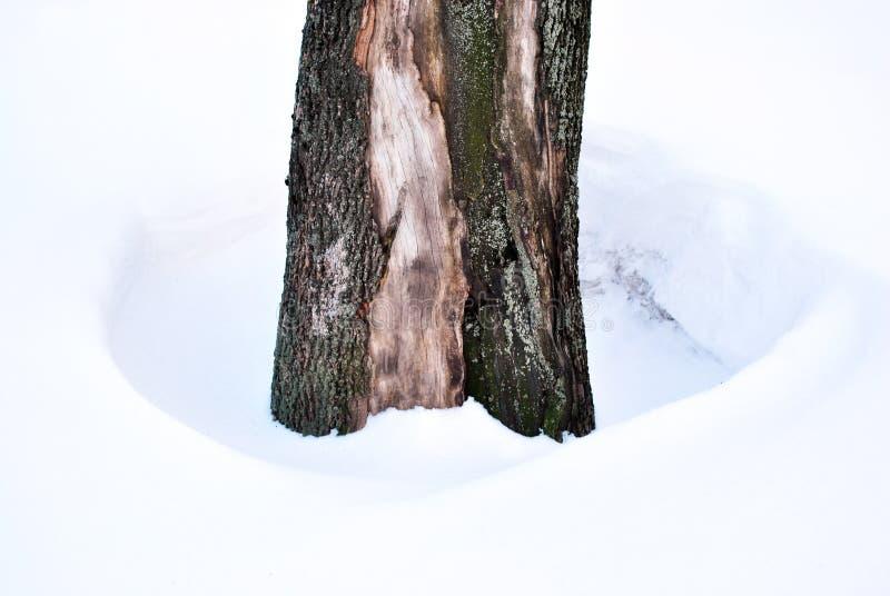Timbre d'arbre avec l'écorce criquée à l'arrière-plan blanc de neige photographie stock libre de droits
