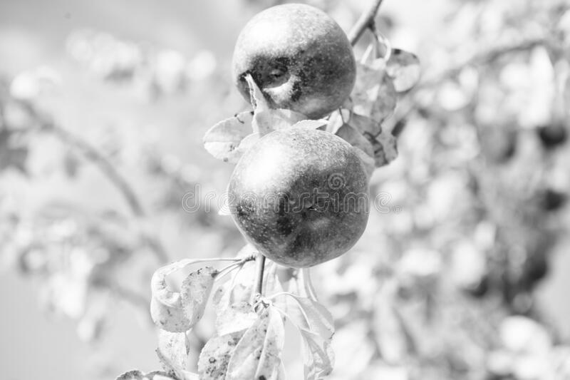 Time for harvesting. Organic apple crops farm or garden. Autumn harvesting season. Harvest concept. Apples ripe fruits. On branch sky background sunny day. Fall royalty free stock images