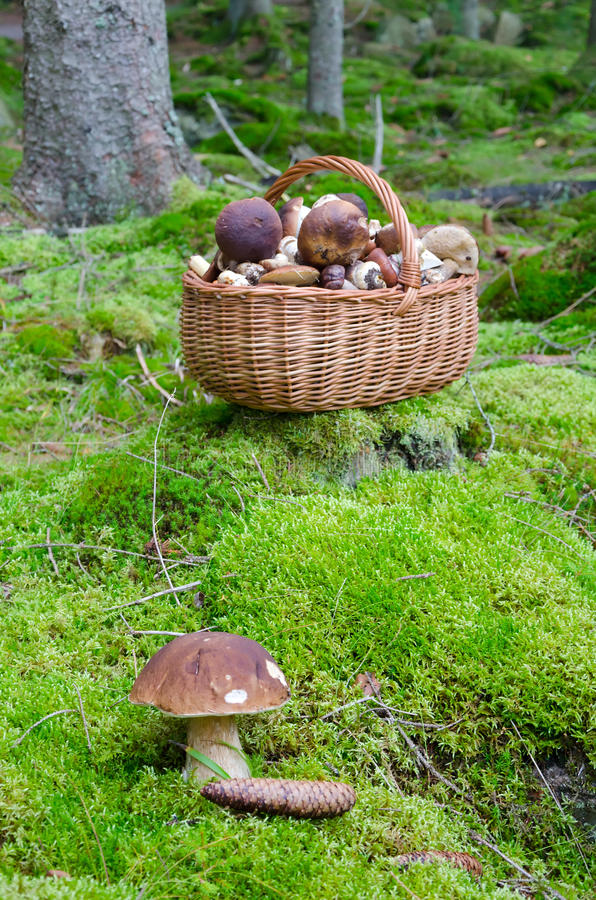 Time for picking mushroom. Boletus mushroom presentation in autumn forest stock images