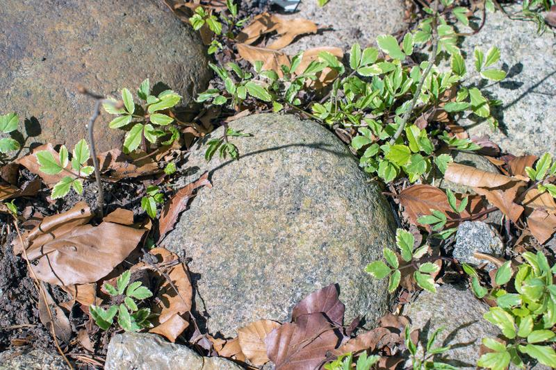 Rocks, plants and leaves, spring clean up time. royalty free stock image