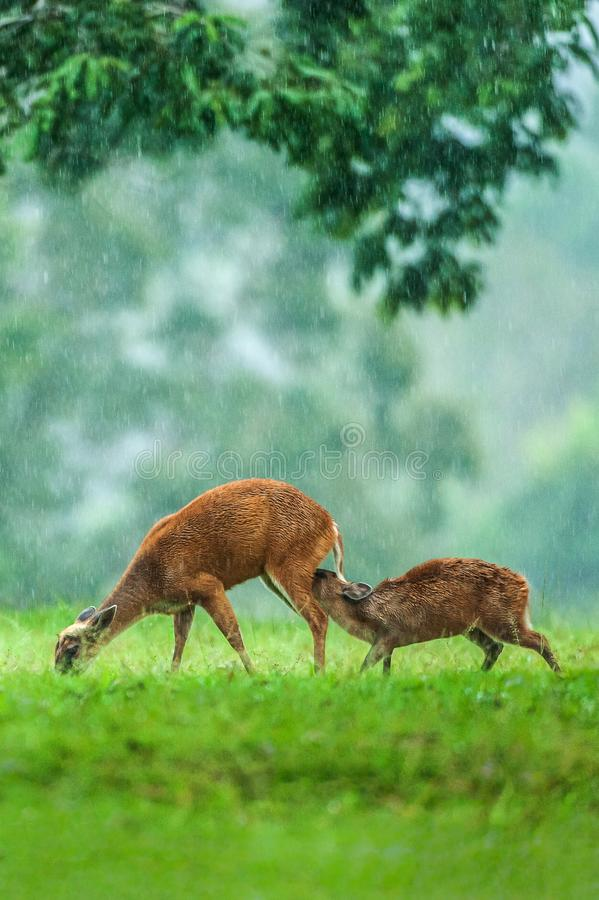 Time to feed, baby fawn and hind mother having a tender bonding moment in the rain. UNESCO World Heritage Site. Khao Yai, Thailand royalty free stock photo