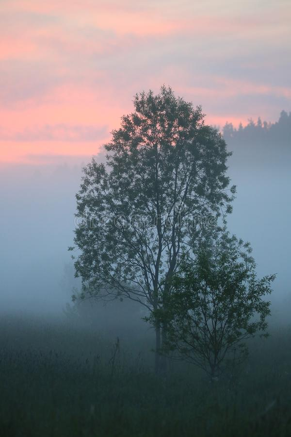 Summer twilight. Two young trees and fog royalty free stock photos