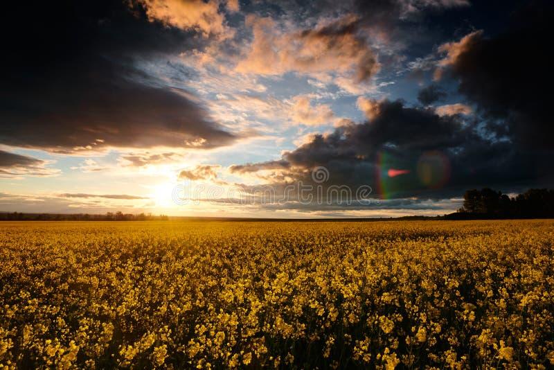 Timelapse цветков рапса на вечере Красивый заход солнца с темно-синим небом, ярким солнечным светом и облаками стоковая фотография rf