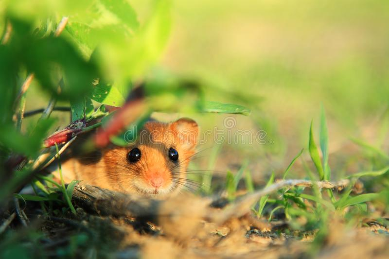 Pet Mouse Rodent Animal. In grass on the ground