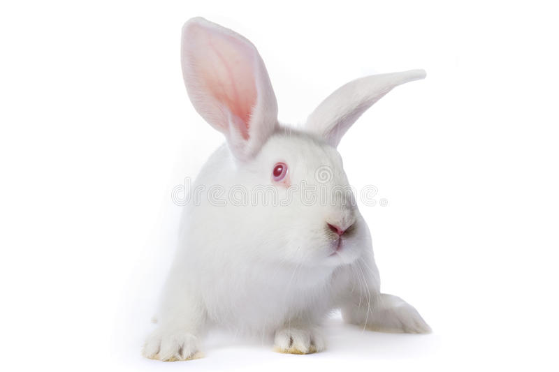 Timid young white rabbit isolated. On white background stock photos
