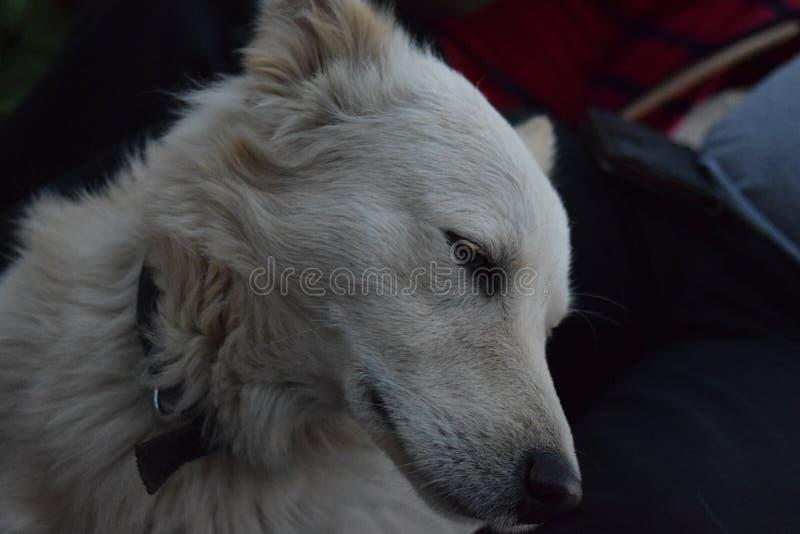 Timidez del perro imágenes de archivo libres de regalías
