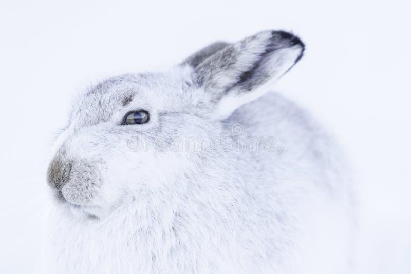 Timidus blanc de lepus de lièvres de montagne image stock