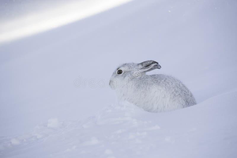 Timidus blanc de lepus de lièvres de montagne images libres de droits