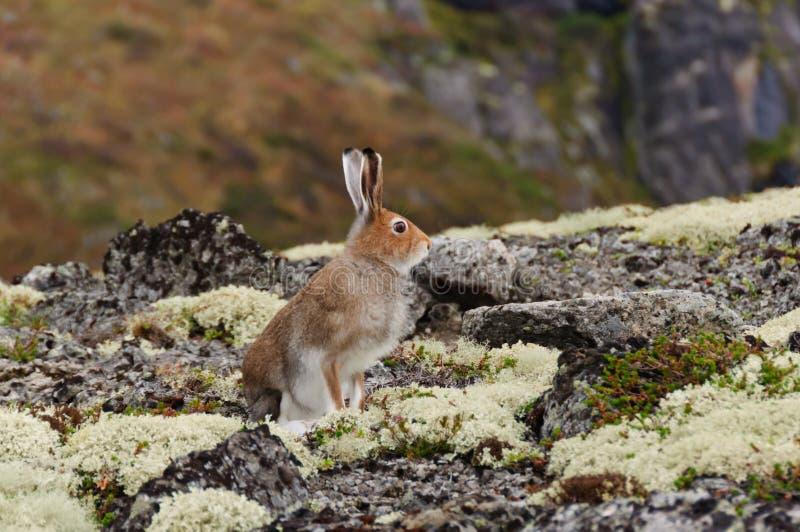 Timidus do Lepus da lebre da tundra ou da montanha imagens de stock royalty free
