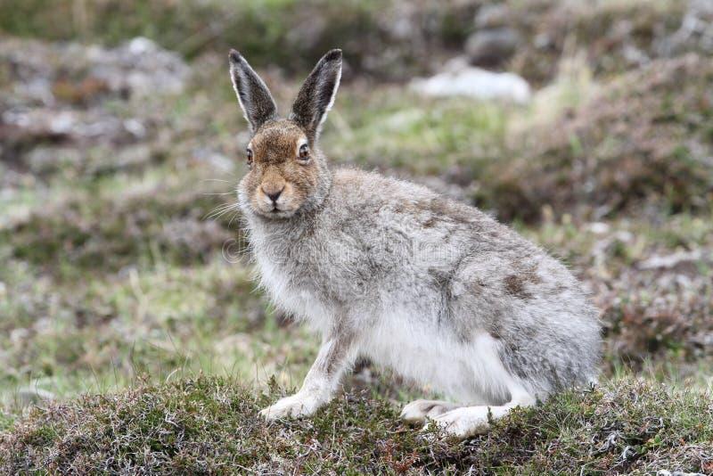 Timidus Lepus зайцев горы в гористых местностях Шотландии в своем пальто коричневого цвета лета стоковая фотография rf