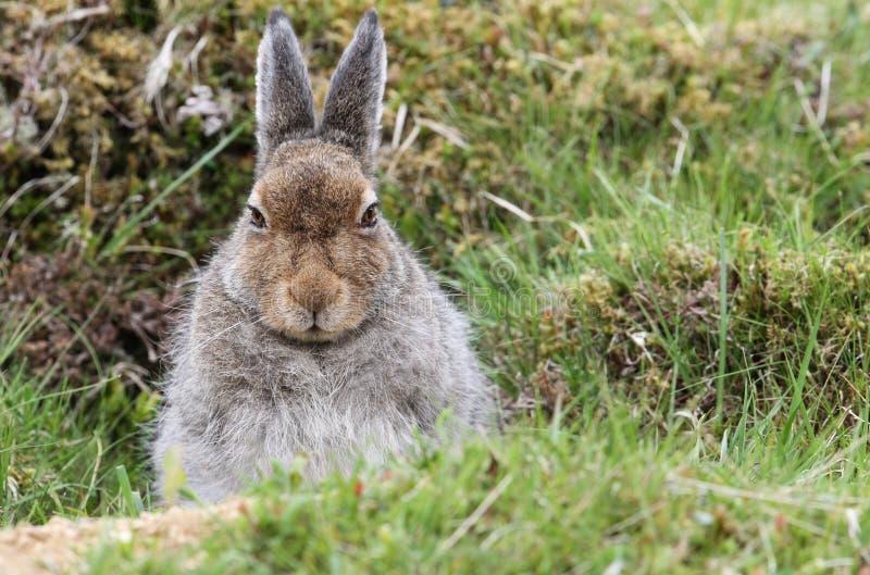 Timidus Lepus зайцев горы в гористых местностях Шотландии принимая укрытие в ` формы `, которое просто отмелая депрессия в th стоковые изображения rf