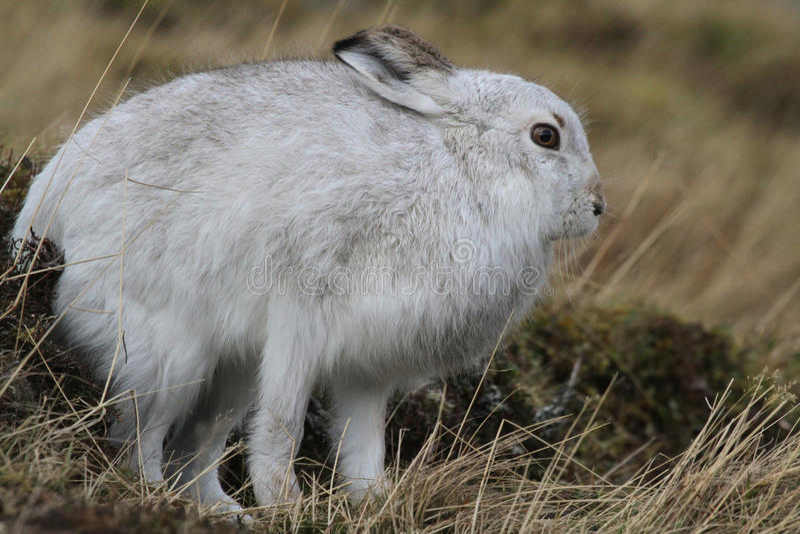 Timidus Lepus зайцев горы в своем пальто зимы белом высоком в шотландских горах имея простирание стоковая фотография