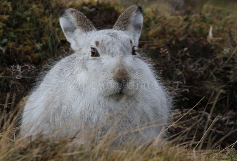 Timidus Lepus зайцев горы в своем пальто зимы белом, высоко вверх в шотландских горах стоковая фотография rf