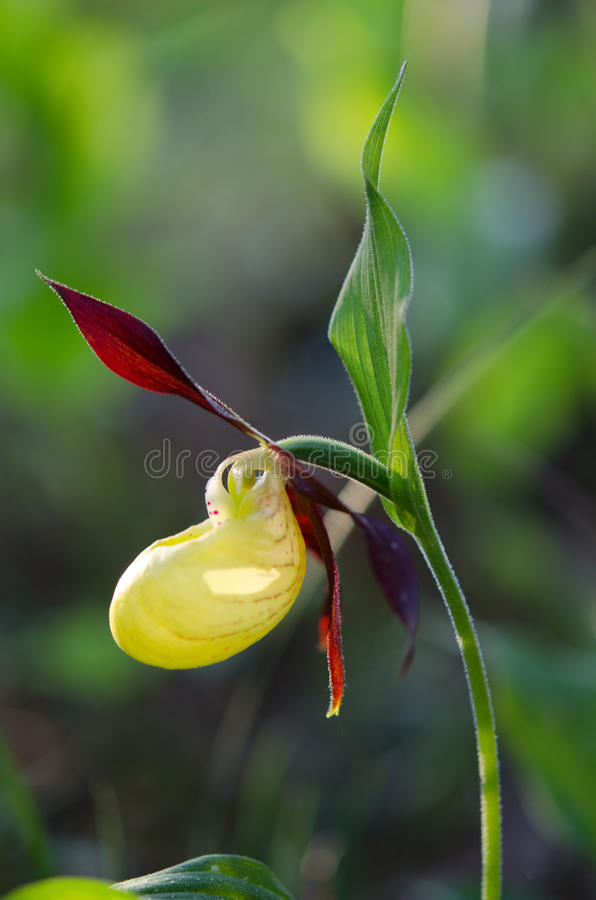 timmer för växt för moccasin för calceoluscypripediumblomma royaltyfri foto