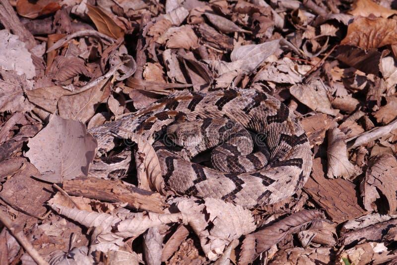 Timmerskallerorm - Crotalushorridus royaltyfri bild