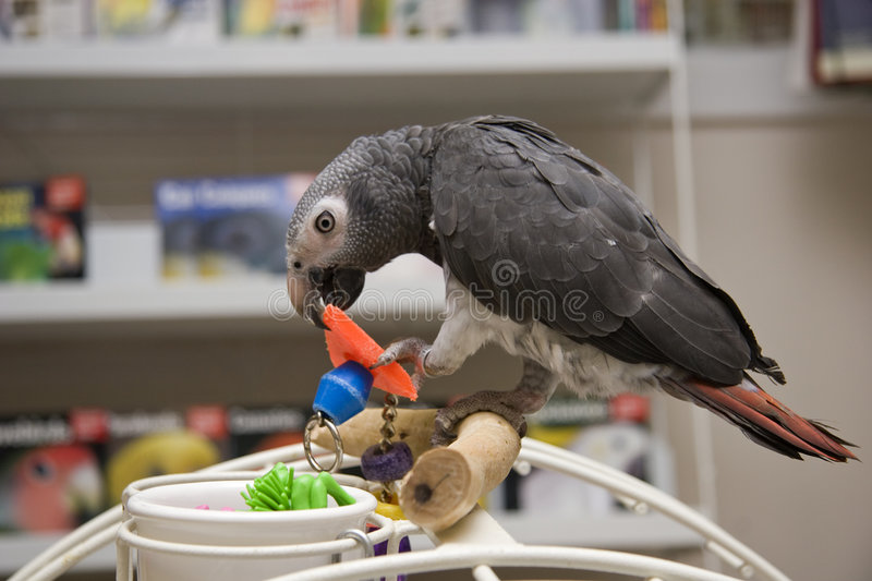 Timneh African Grey. Playing with a Toy on a Playgym stock photos