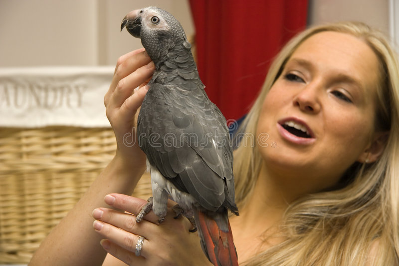 Timneh African Grey. Parrot Being Held by Her Owner royalty free stock photography