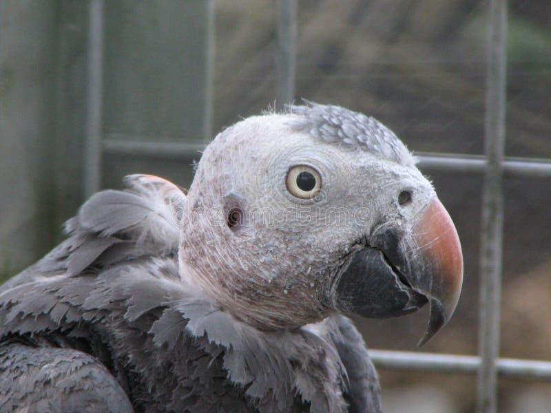 Download Timneh grey oskubanego obraz stock. Obraz złożonej z charcica - 144297