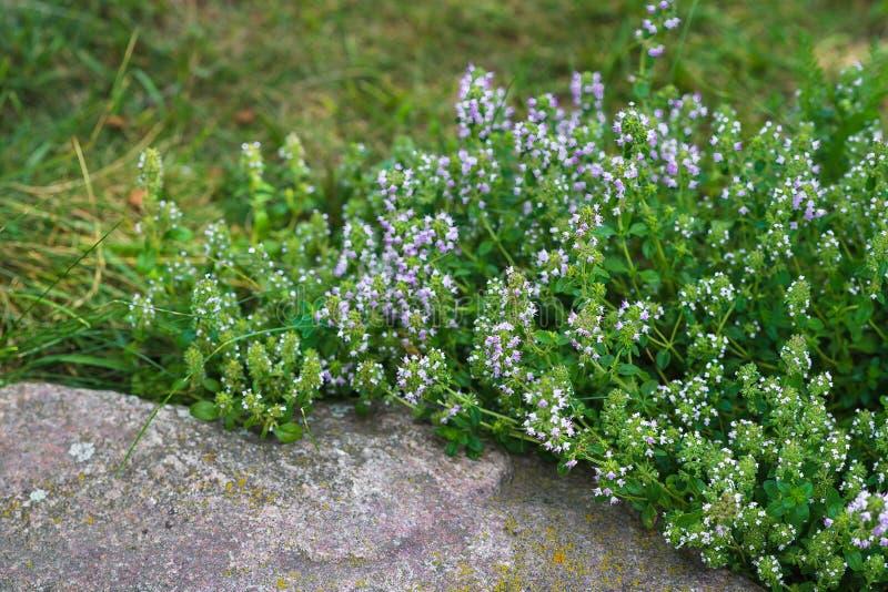 Timo verde di fioritura in un giardino verde Primo piano il timo si sviluppa fra le grandi pietre immagini stock libere da diritti