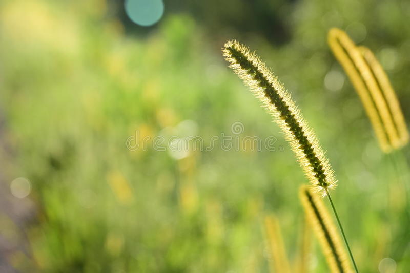 Timothy Grass Seed Head