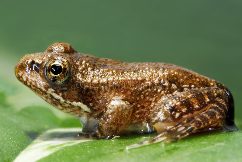 Ting frog stock image