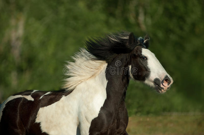 Tinker horse portrait running free in summer. The tinker horse portrait running free in summer royalty free stock photos