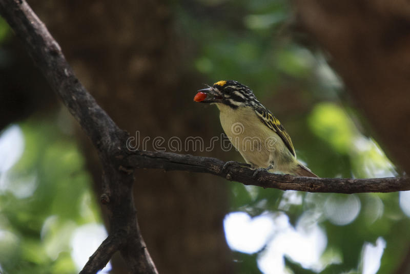 Tinkerbird Amarillo-afrontado fotografía de archivo libre de regalías