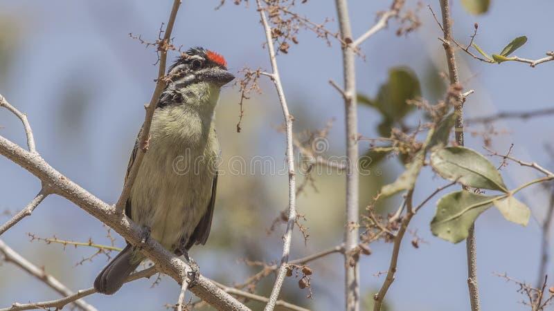 Tinkerbird Vermelho-fronteado na árvore imagens de stock royalty free
