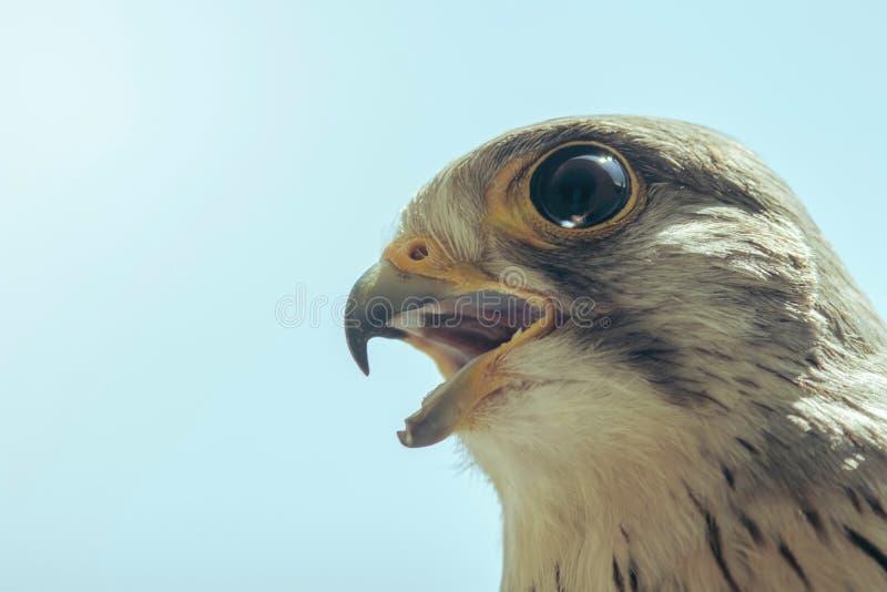 Tinnunculus aberto largo de Falco do bico comum do retrato do francelho imagens de stock royalty free