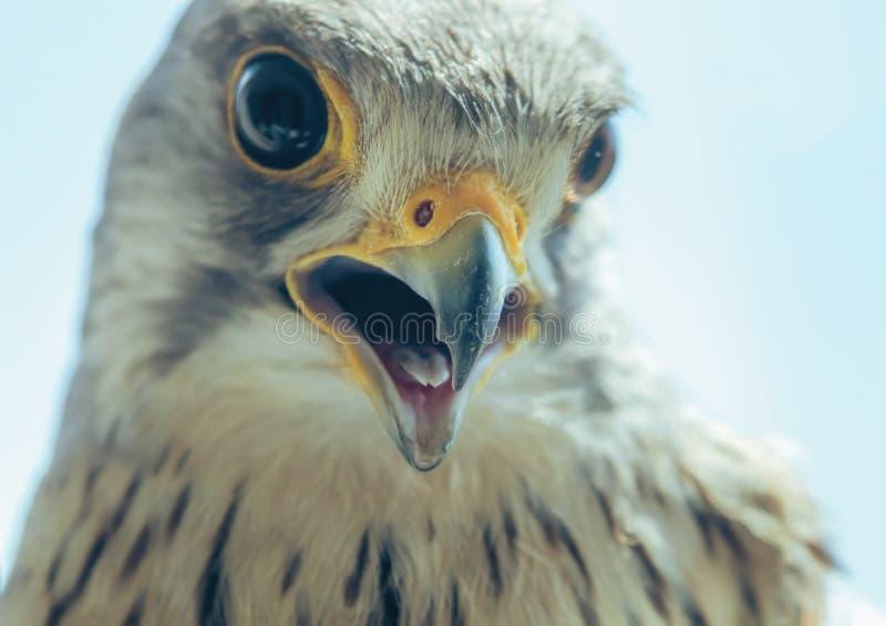 Tinnunculus aberto largo de Falco do bico comum do retrato do francelho fotos de stock royalty free