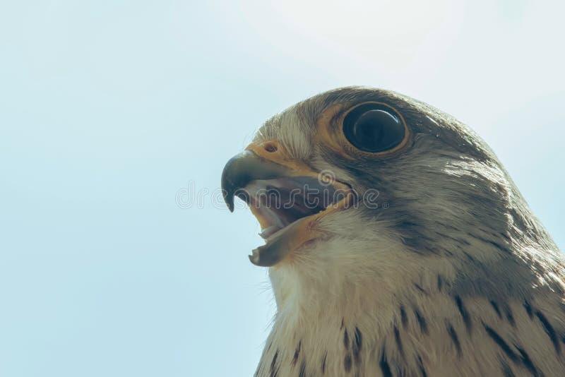 Tinnunculus aberto largo de Falco do bico comum do retrato do francelho fotografia de stock