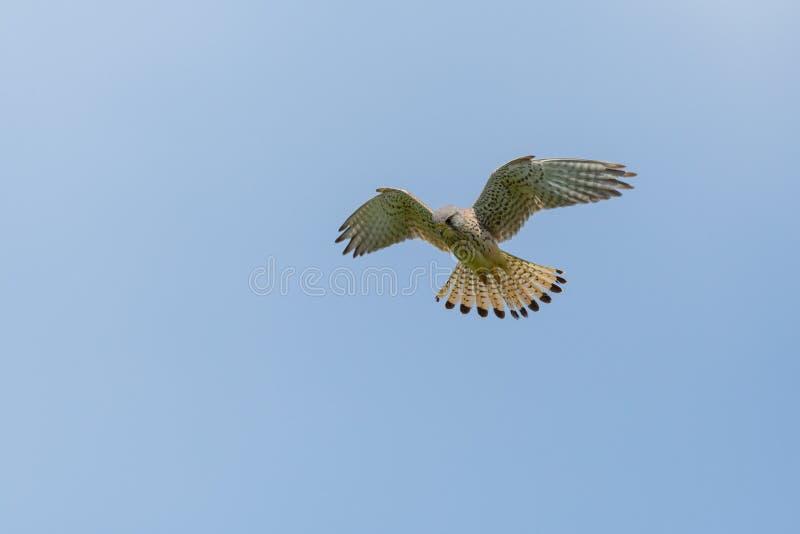 Tinnunculus commun de falco de crécerelle en ciel bleu de vol stationnaire image stock