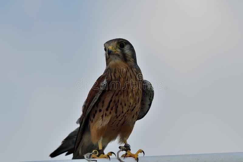 Tinnunculus comum de Falco do francelho imagem de stock