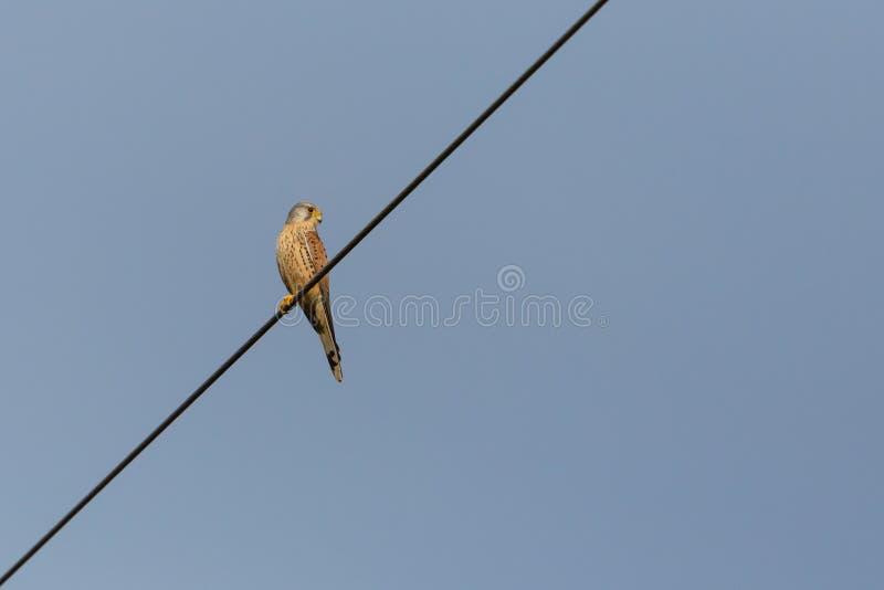 Tinnunculus comum do falco do francelho que senta-se na linha elétrica, sunshi fotos de stock royalty free