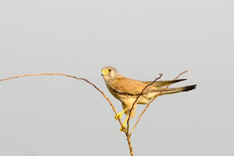 Tinnunculus comum do Kestrel/Falco foto de stock