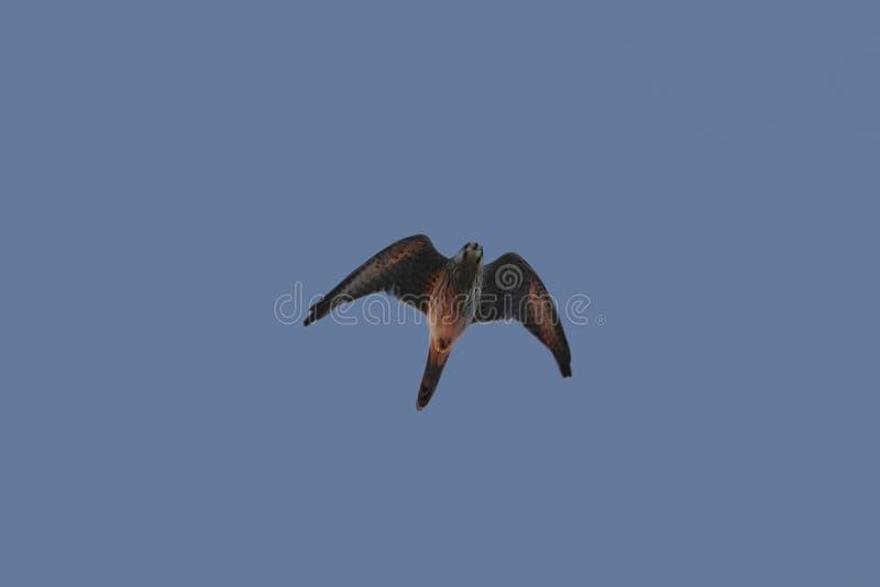 Tinnunculus comune maschio di Falco del gheppio fotografie stock libere da diritti