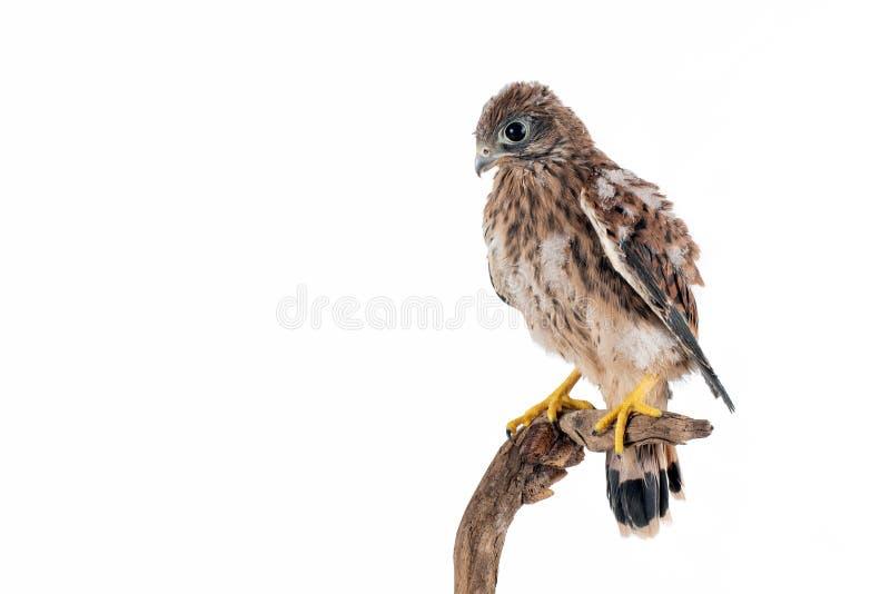Tinnunculus Falco Kestrel детенышей общее изолированное на белой предпосылке стоковые изображения