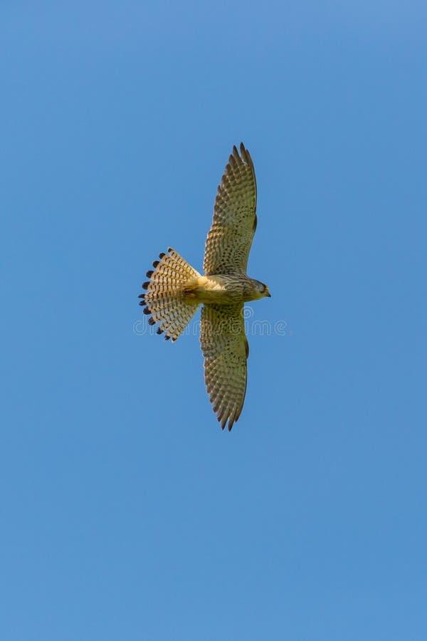 Tinnunculus Falco Turmfalke der Frau allgemeiner im Flug blauer Himmel lizenzfreies stockfoto