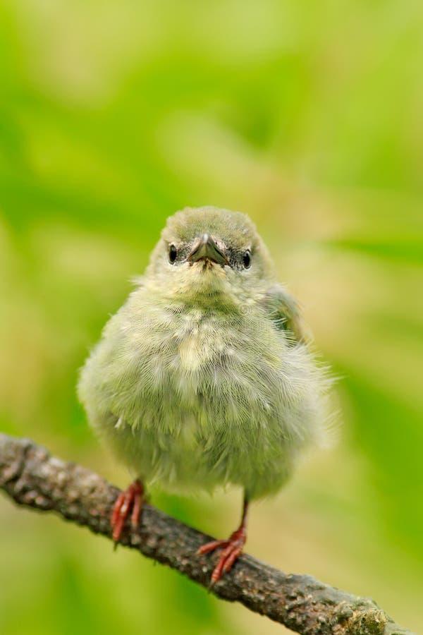 Tinny zangvogel in de habitat Jonge vogel in aardhabitat Verloren eenzame nieuwe zitting op tak Honeycreeper met rode poten, Cya stock afbeeldingen