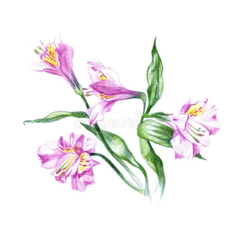 Tinta, lápiz, bosquejo de la flor de la acuarela Línea fondo del arte Pintura dibujada mano de la naturaleza Ejemplo que bosqueja stock de ilustración