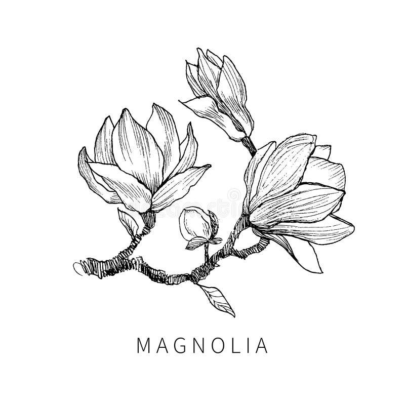Tinta, lápiz, las hojas y flores del aislante de la magnolia Línea fondo transparente del arte Pintura dibujada mano de la natura ilustración del vector