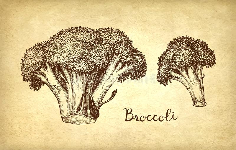 Tintenskizze des Brokkolis vektor abbildung