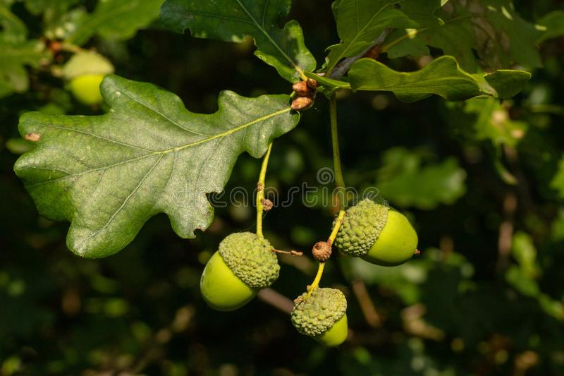 From tiny acorns the mighty oak is born. Early autumn sees acorns appear on oak trees and soon they will fall to the woodland floor to provide food for squirrels stock images