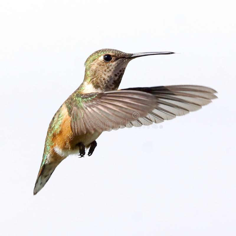 A female Rufous Hummingbird isolated in flight stock photos