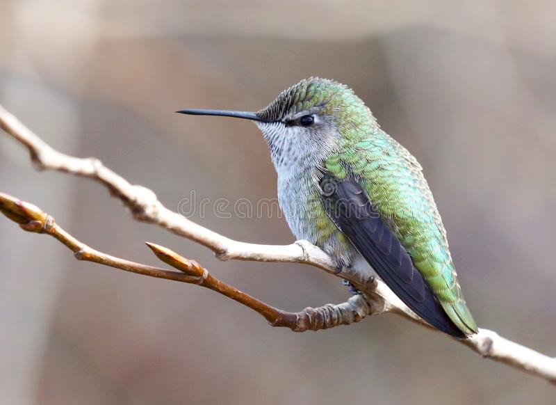 Tiny Anna`s Hummingbird Perched Alone on a Tree Branch stock image