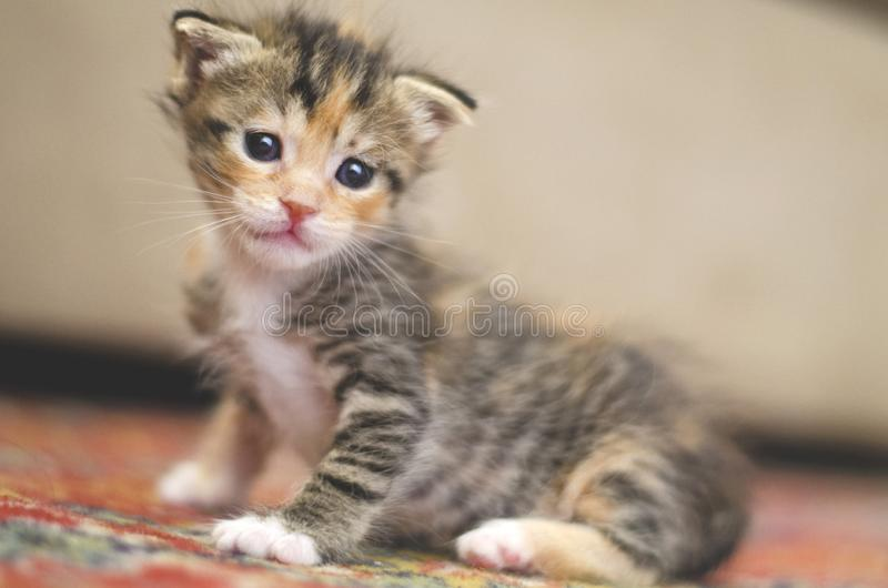 Tiny baby cat learning how to walk and stand on a red carpet royalty free stock images