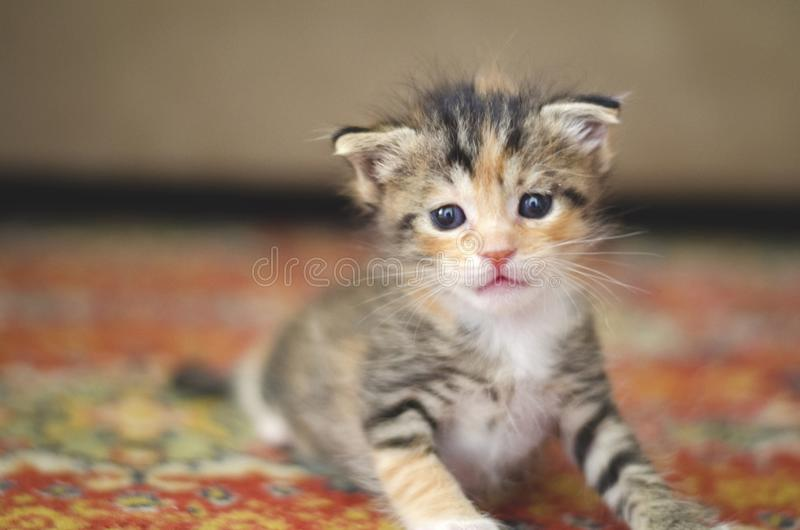 Tiny baby cat learning to walk on a red carpet royalty free stock photo