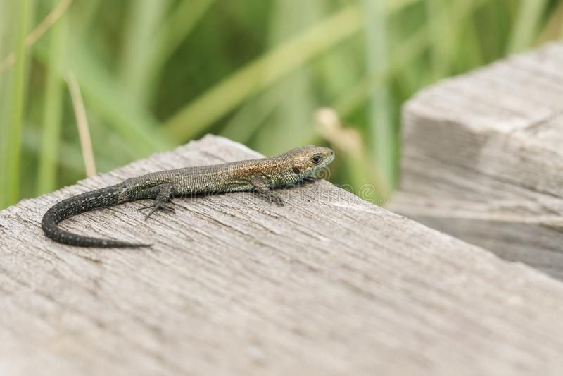 A tiny baby Common Lizard, Zootoca vivipara, hunting on a wooden boardwalk. stock photo